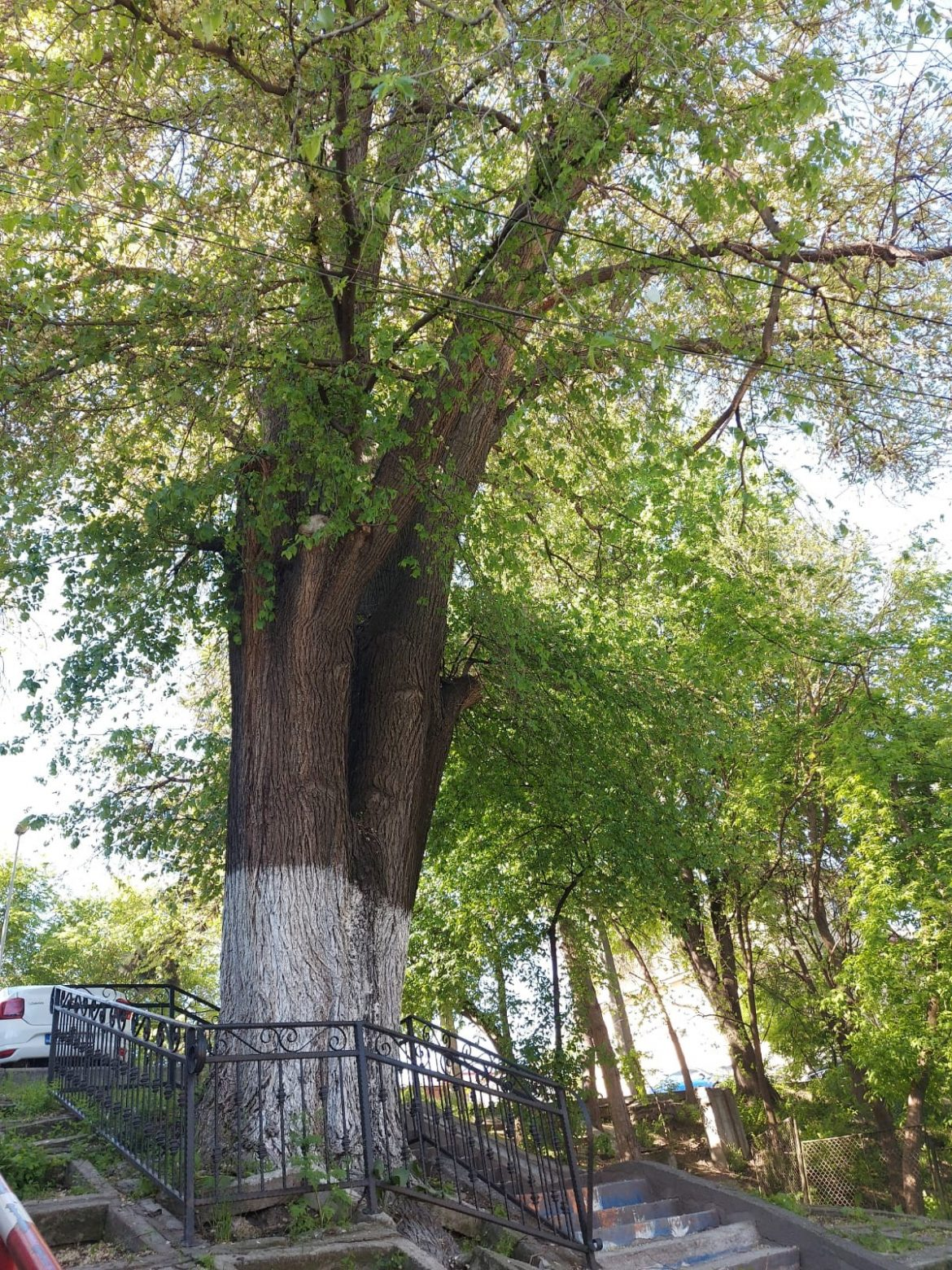 Cel mai bătrân copac din Tulcea